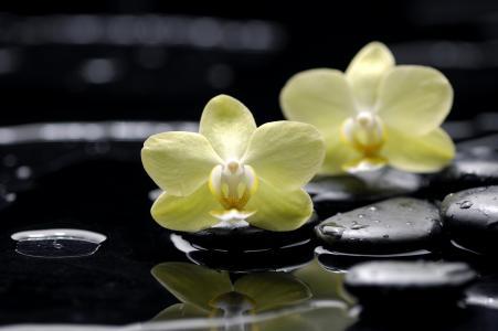 蝴蝶兰,扁平,石头,花,兰花,黄色