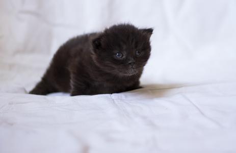 猫,猫,小猫,coteyka,可爱,小,巧克力,毛茸茸的,重要的