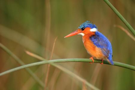 翠鸟,明亮的羽毛,干,背景,鸟