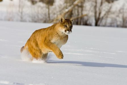 彪马,美洲狮,捕食者,雪,美女,狩猎