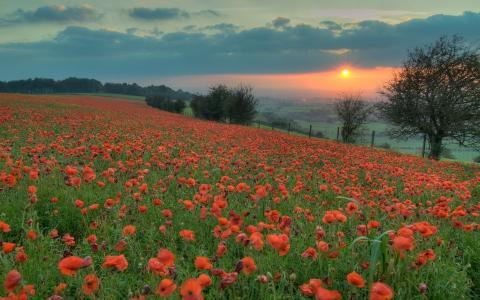 红色,晚上,太阳,日落,橙色,罂粟花,领域