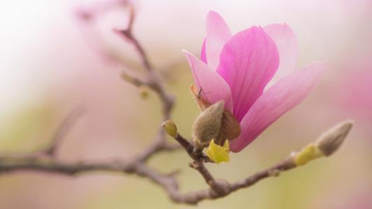 性质,分支,花,芽,玉兰