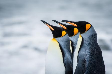 企鹅,冬天