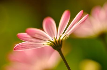 鲜花,宏,花,花瓣,花瓣,宏,粉红色,粉红色