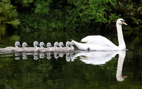 天鹅,天鹅,小鸡,河,水,反射,性质