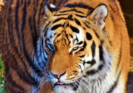 老虎,脸,背景