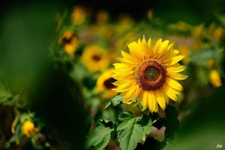 晴朗,黄色,向日葵,夏天,模糊,焦点