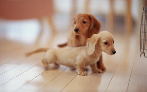 两只小狗,米色,爬上地板