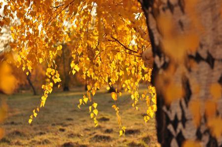 秋天,桦木,叶子,性质