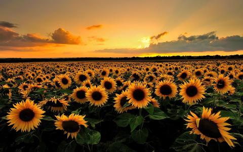 自然,夏天,领域,向日葵,地平线,天空,日落,云,光,太阳