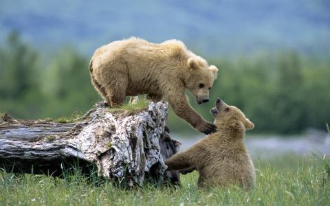 动物,捕食者,熊,夫妇,性质,草,树,障碍