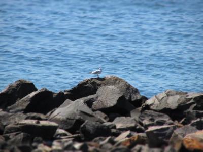 海鸥,性质,海