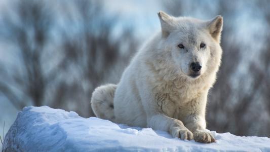 动物,捕食者,狼,雪,冬天