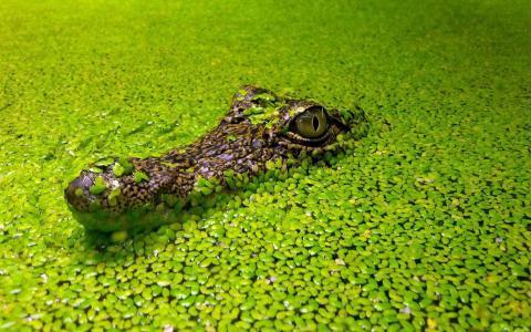 浮萍,藻类,绿色,水,背景,鳄鱼