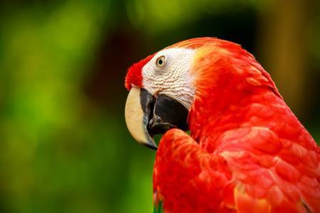 动物,鸟,鹦鹉,金刚鹦鹉