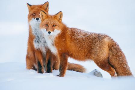 狐狸,雪,冬天