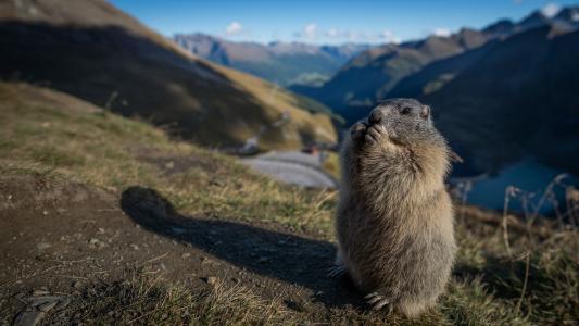 啮齿类动物,山,旱獭,毛皮