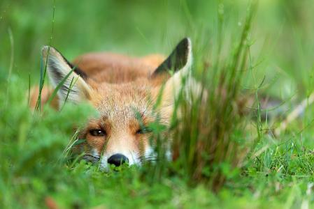狐狸,宏观照片,捕食者