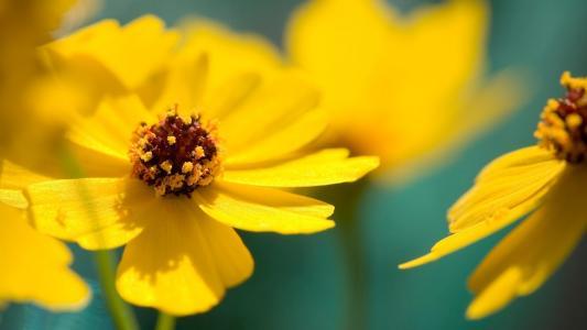 黄色的花瓣,鲜花,宏