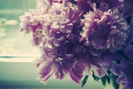 早上,芽,窗口,牡丹,花瓣