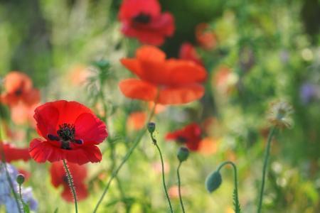 模糊,鲜花,罂粟,场,红色,宏