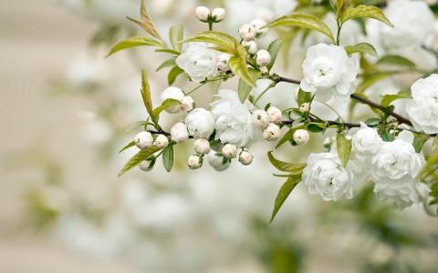 分支,白色的花,叶子,花瓣