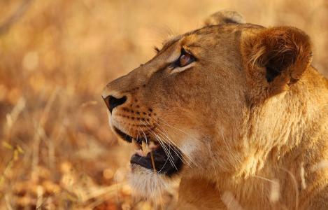 狮子,母狮,狮子,levenetko,野生动物园,非洲,动物园,狩猎,家庭,自豪,自然