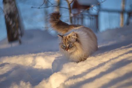动物,猫,猫,冬天,雪