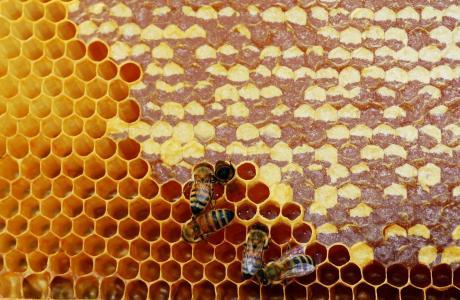 蜂蜜,蜜蜂,昆虫,蜂巢