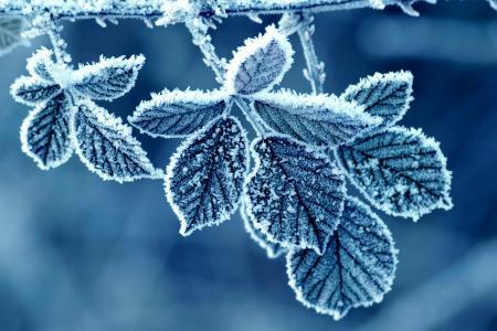 叶,冬天,霜,早上,模式,玫瑰,白霜