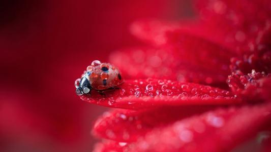 瓢虫,红色,花卉,滴眼液