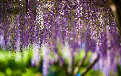 鲜花,鲜花,紫藤,散景,紫色