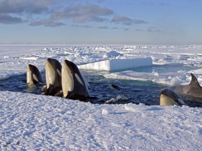 虎鲸,掠食性动物,鲸鱼,鲸鱼,冬天,冰,空气
