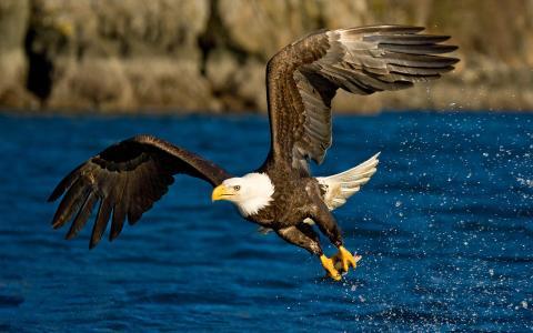飞行,翅膀,鹰,喷雾,鸟,水