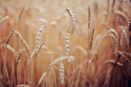 宏,小麦,小穗