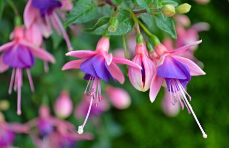 性质,夏天,鲜花,芽,紫红色