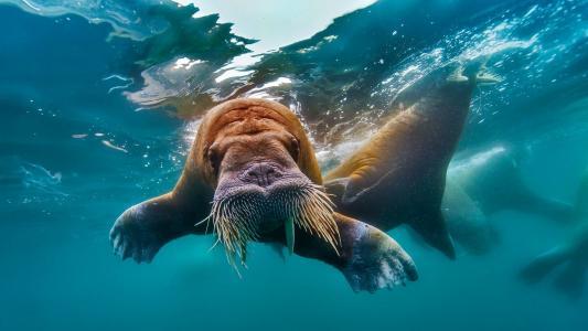 海象,照片,在水之下