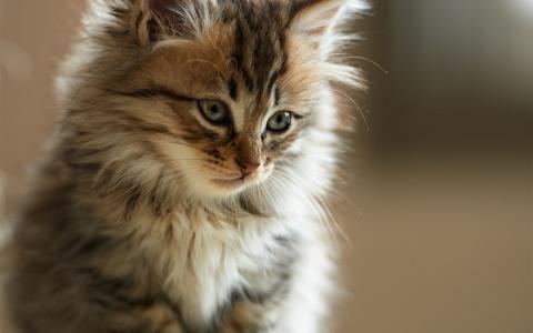 猫,蓬松,小猫,毛皮,脸,高清