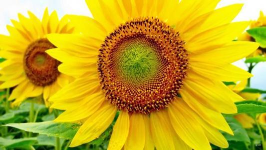 向日葵,向日葵