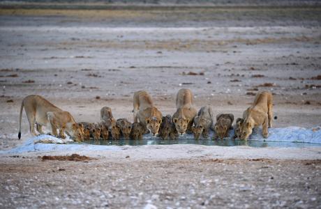 狮子,大猫,动物