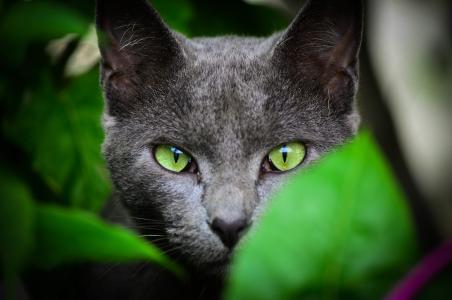 绿色,叶子,猫,耳朵,眼睛是绿色的,视图,颜色
