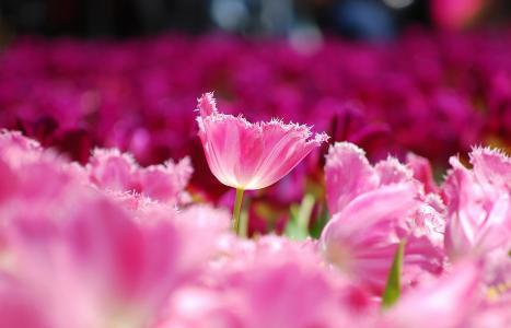 鲜花,场,宏,花瓣,郁金香,粉红色