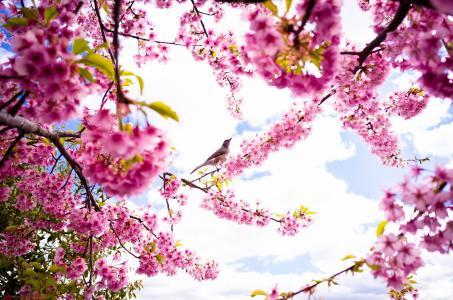 春天,花瓣,樱花,盛开,鸟,天空