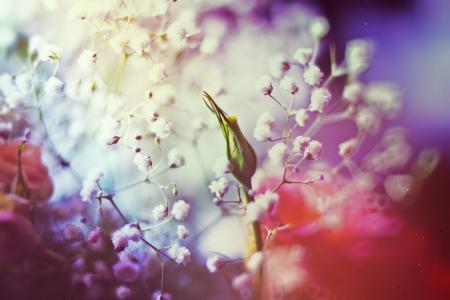 芽,颜色,玫瑰,白花