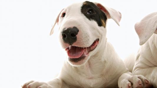 狗狗,粉红色,可爱的脸,黑色的鼻子
