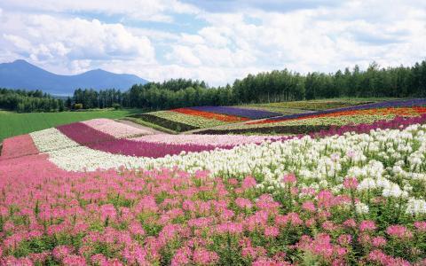 鲜花,云,夏天,山,森林,场,天空