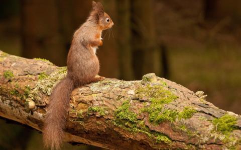 松鼠,自然,树干