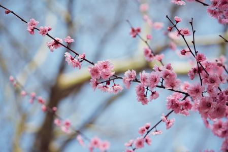淡雅清秀的梅花