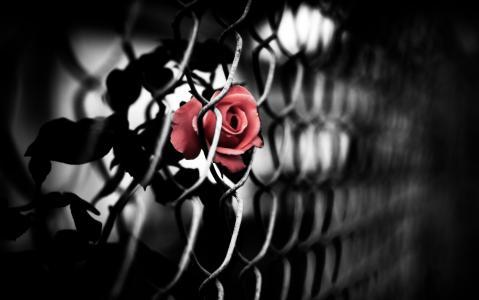 玫瑰,网眼,红色,rabitsa