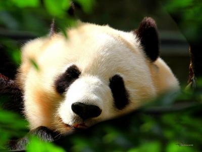 熊猫,白色,叶子,黑色,睡着了